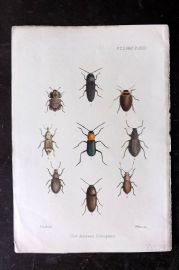 PZS 1867 Hand Col Print. New Azorean Coleoptera Insects